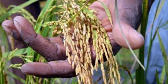 Autosuffisance en riz : le département de Mbour à pied-œuvre pour l'atteinte des objectifs