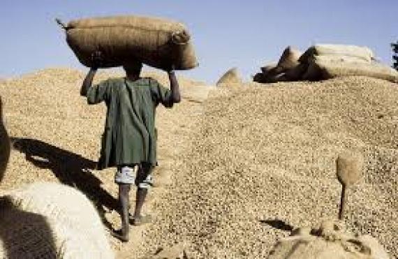 Commercialisation de l'arachide : la tutelle rassure