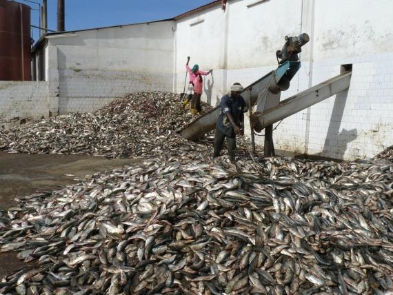 PECHE : Les acteurs de la pêche artisanale se plaignent de la prolifération des usines de fabrication de farine de poisson.