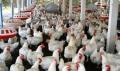 Un professionnel de l'aviculture souligne les progrès du secteur