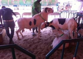 5ème édition de la  Foire de l'élevage de Mbour : Les éleveurs de Ladoume  étalent leur savoir-faire