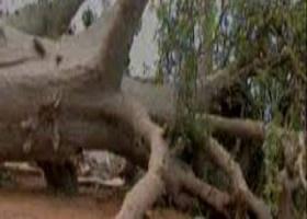 DRAME – EFFONDREMENT D'UN BAOBAB DANS LE VILLAGE DE NGOMENE : deux enfants perdent la vie.