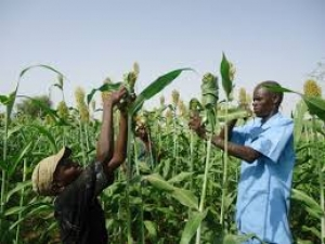 Pointe-Sarène : Une nouvelle variété de sorgho expérimentée pour assurer la sécurité alimentaire